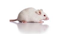 Rat cDNA clones