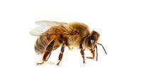 理研Honeybee cDNAクローン